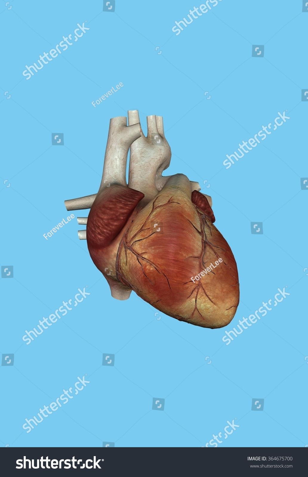 Human Heart Featuring Right Left Ventricle Stock Illustration