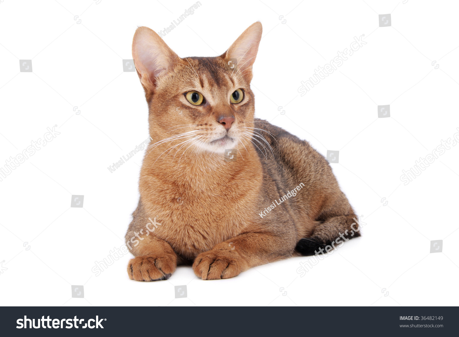 Usual Abyssinian Cat On White Stock Photo 36482149 : Shutterstock Usual Abyssinian Kittens