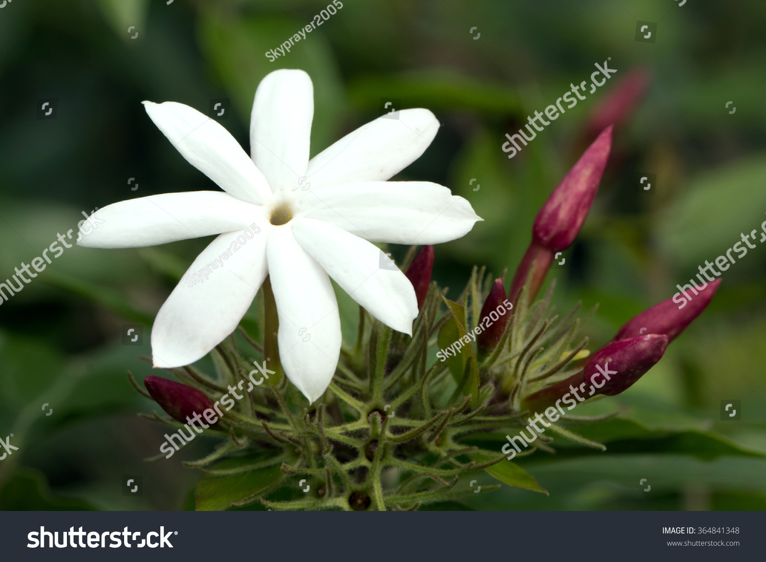 Pink jasmines pink flower buds white stock photo royalty free pink jasmines pink flower buds and white flowersjasminum polyanthum izmirmasajfo