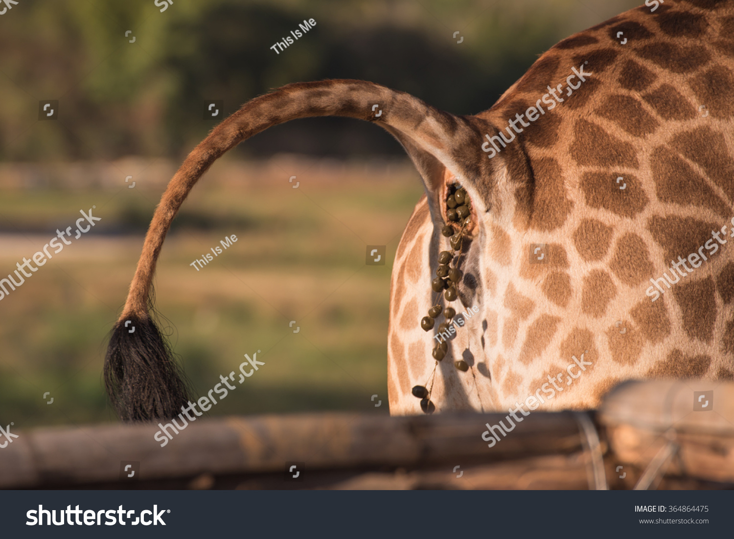 Giraffe Excrement Stock Photo 364864475 Shutterstock