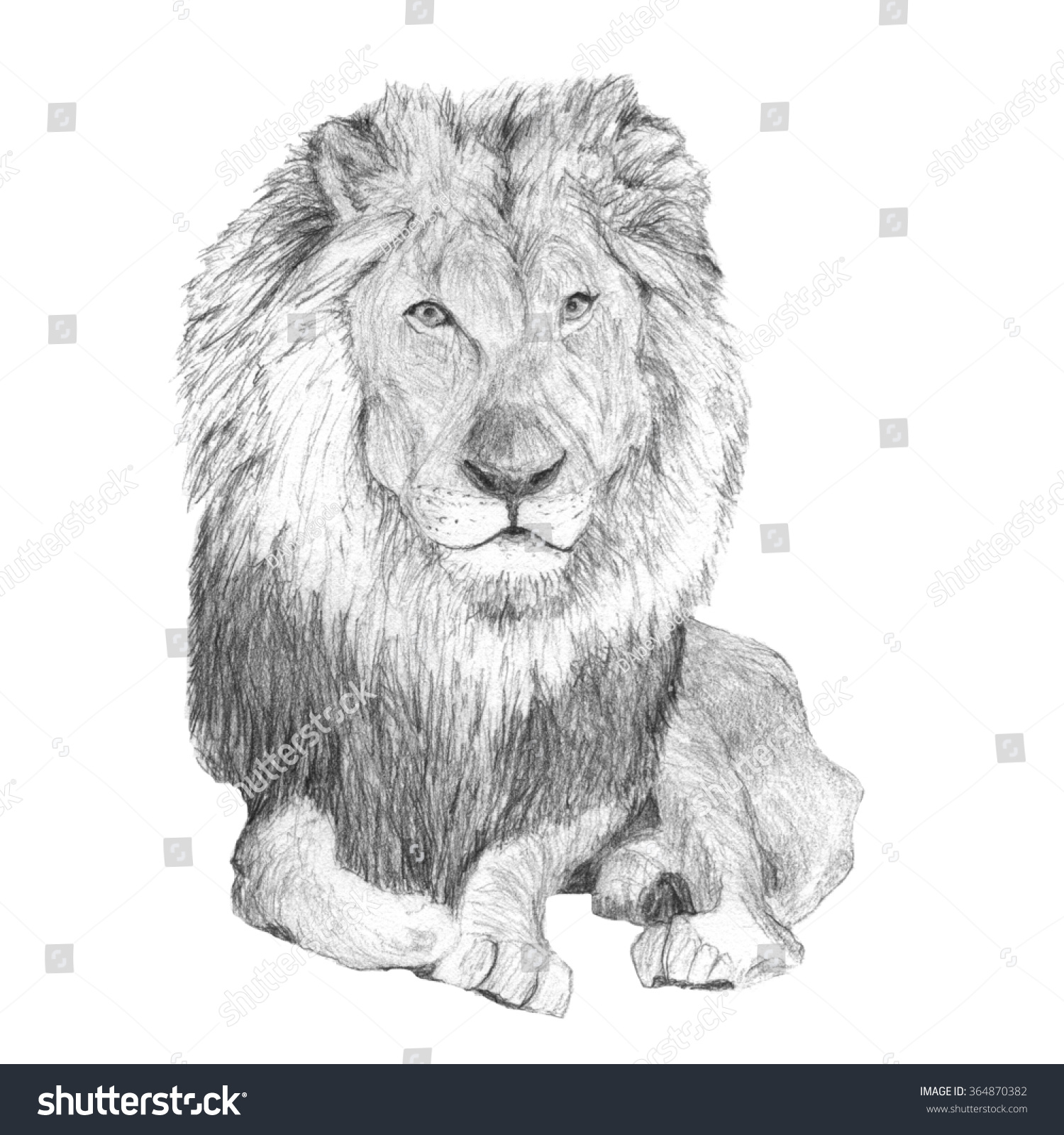 African male lion drawing pencil sketch lion stock photos images