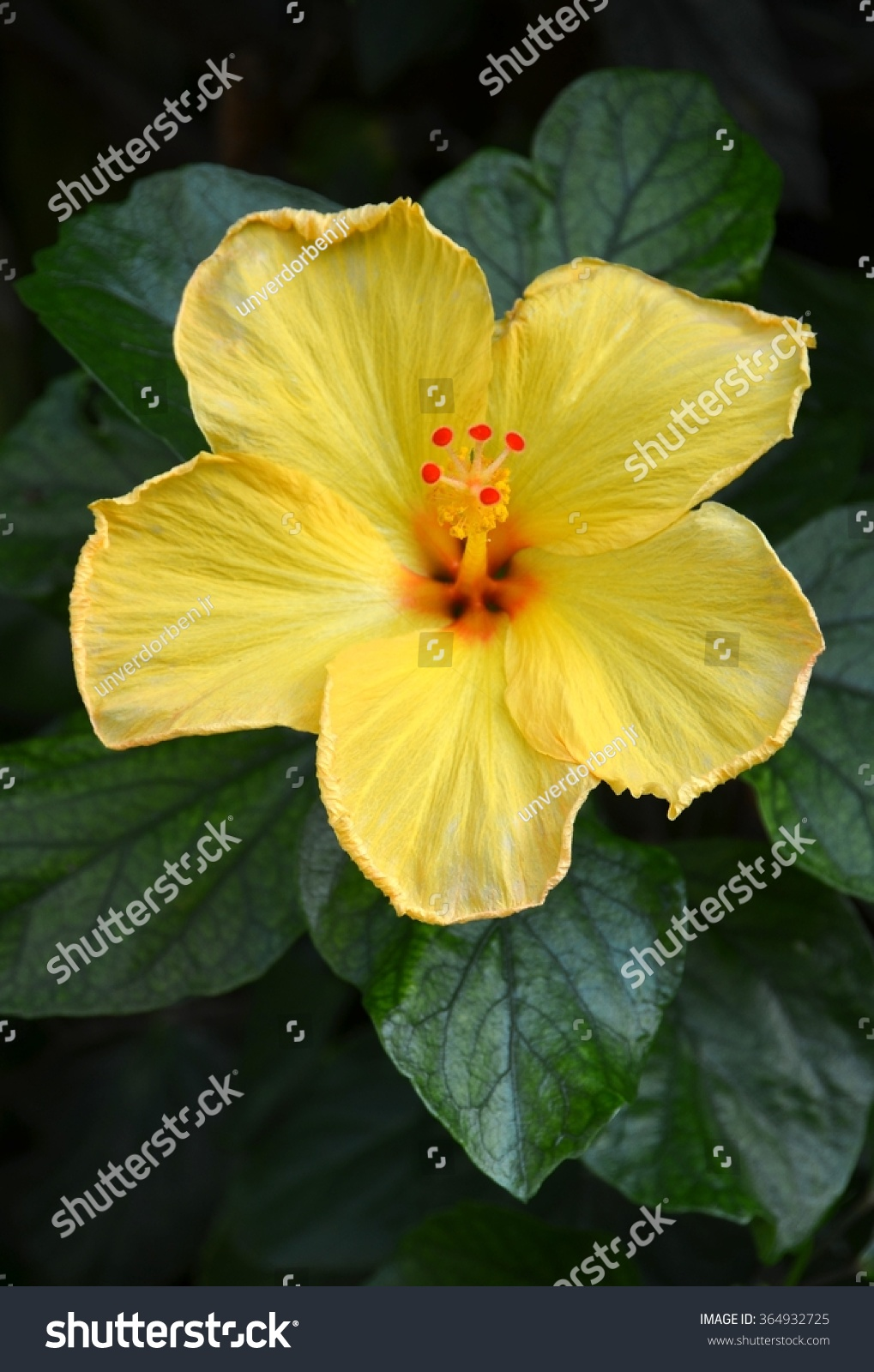 A Single Bright Yellow Hibiscus Flower Among The Greenery Ez Canvas