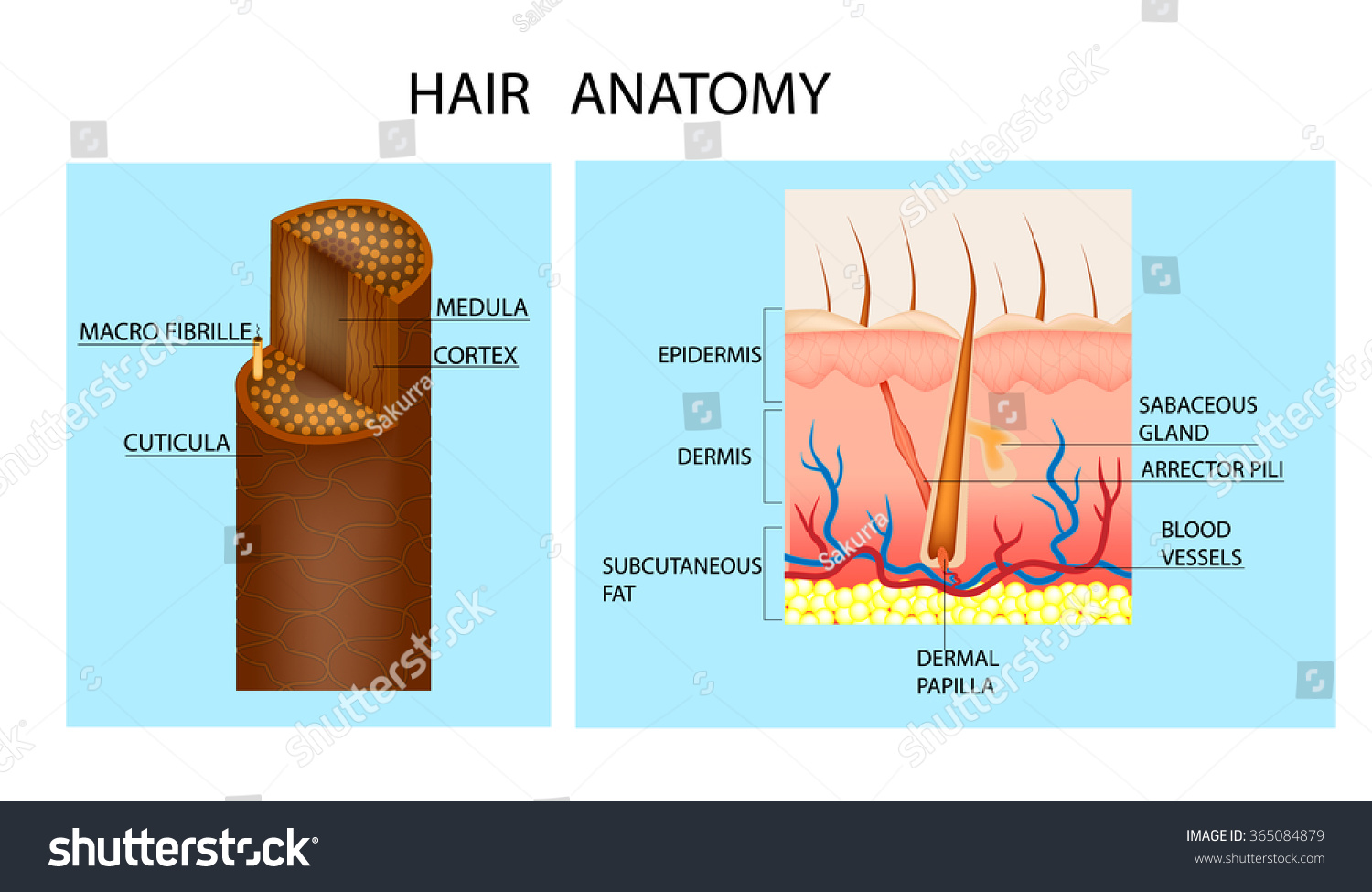 Structure Hair Detailed Medical Illustration Hair Stock Vector