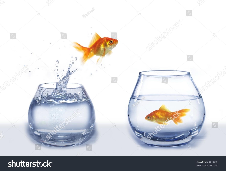 Gold Jump Over Larger Aquarium Fish Stock Photo Edit Now 36516304