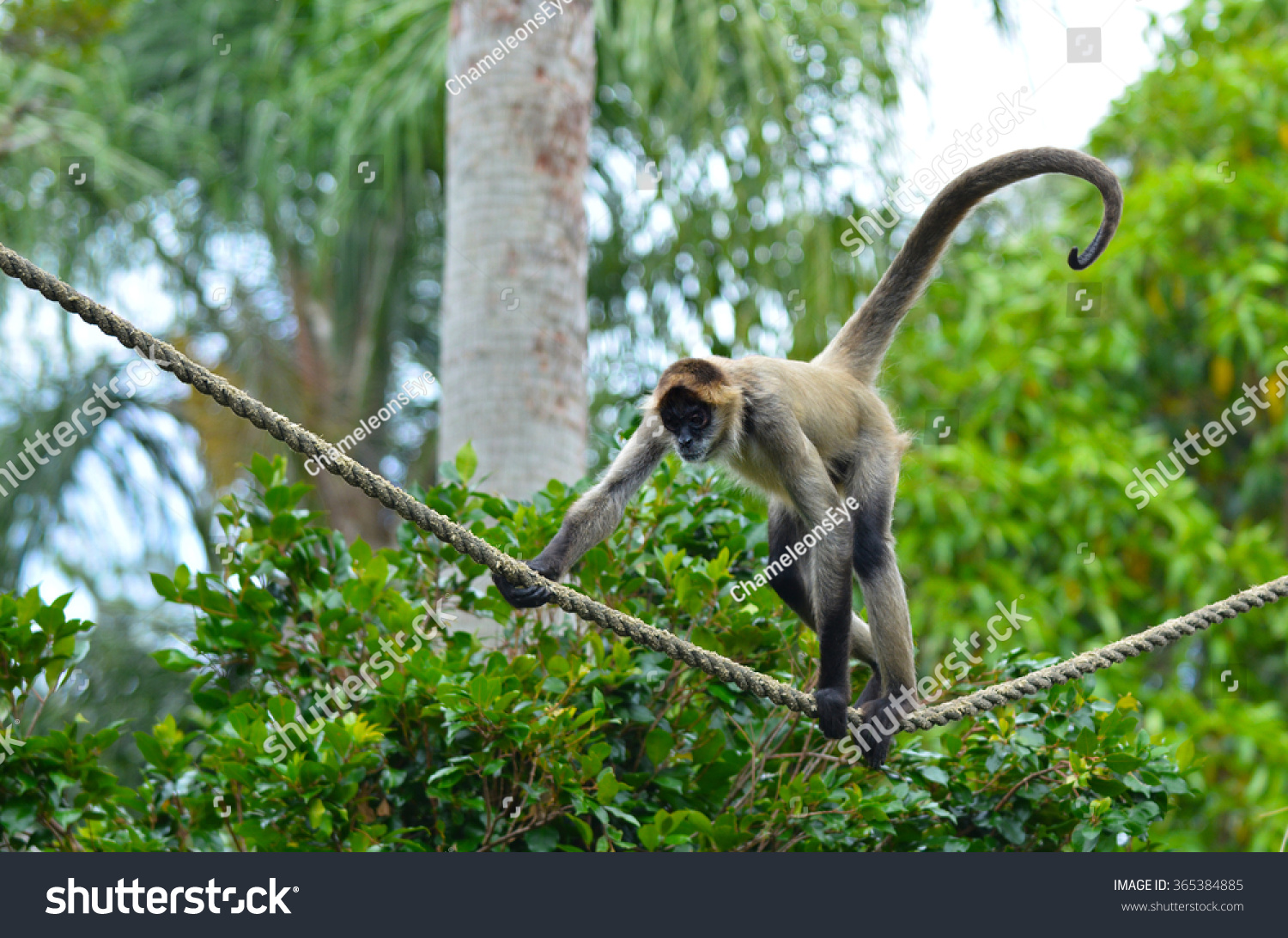 ateles geoffroyi. spider monkey (ateles geoffroyi) play on a rope. it live in tropical forests ateles geoffroyi