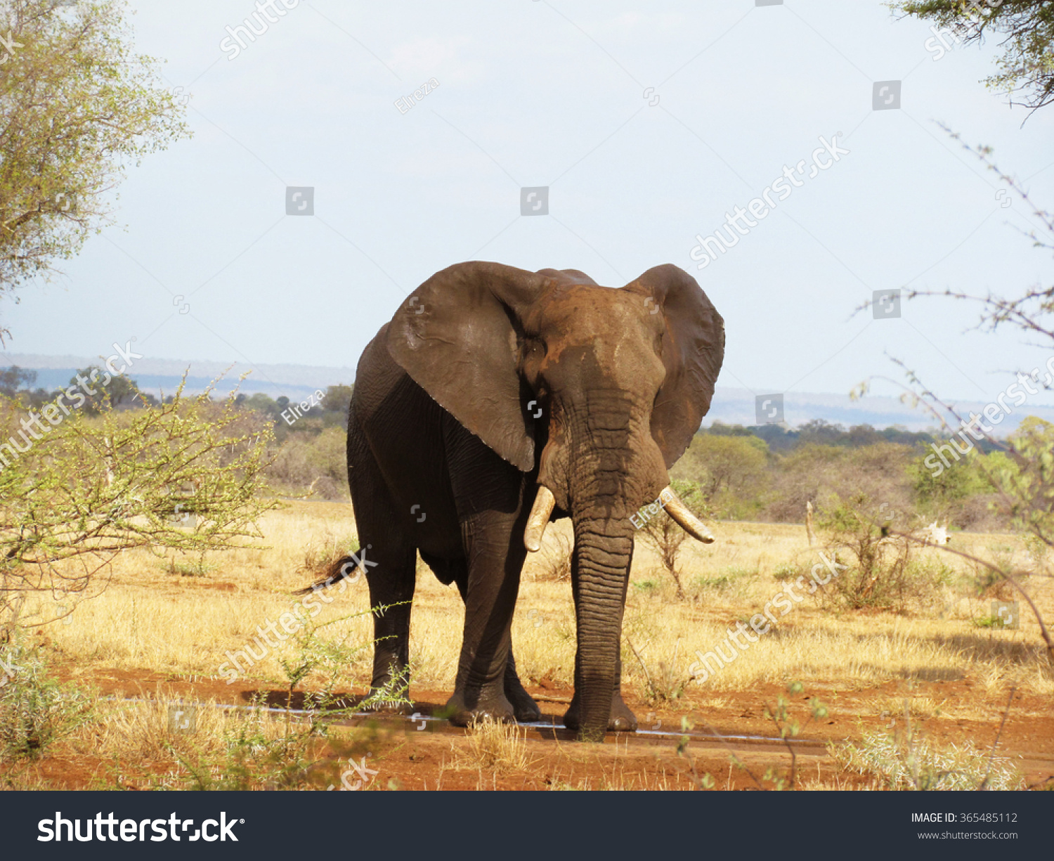 African Elephant enjoying water in the hot summer days of the National Park South Africa