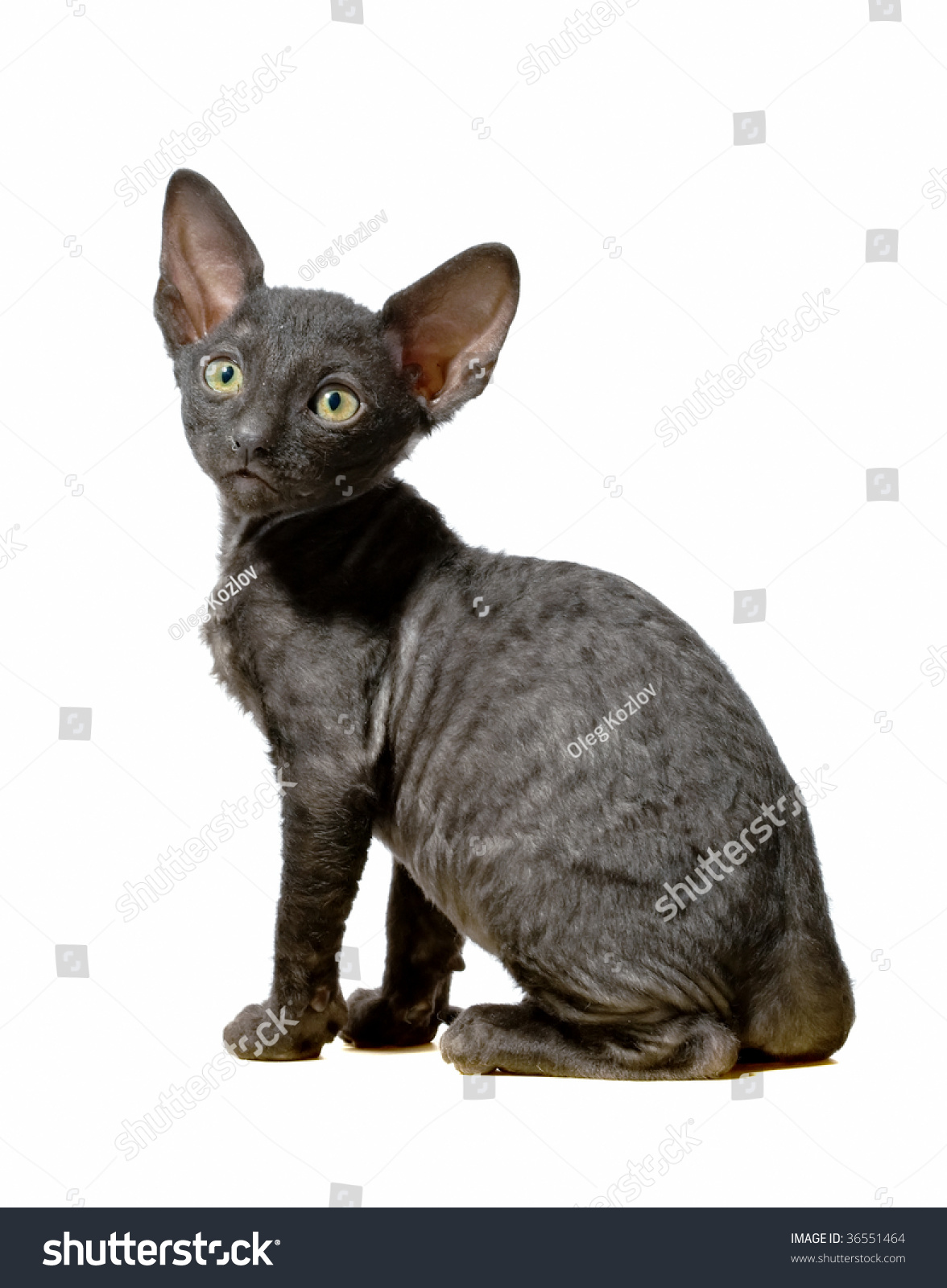 Black Cornish Rex Kitten Sitting Profile Stock