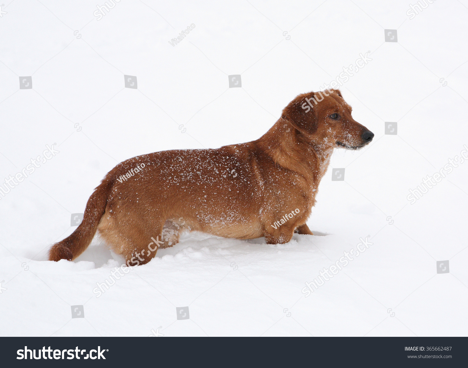 Dog dachshund in the deep snow #365662487