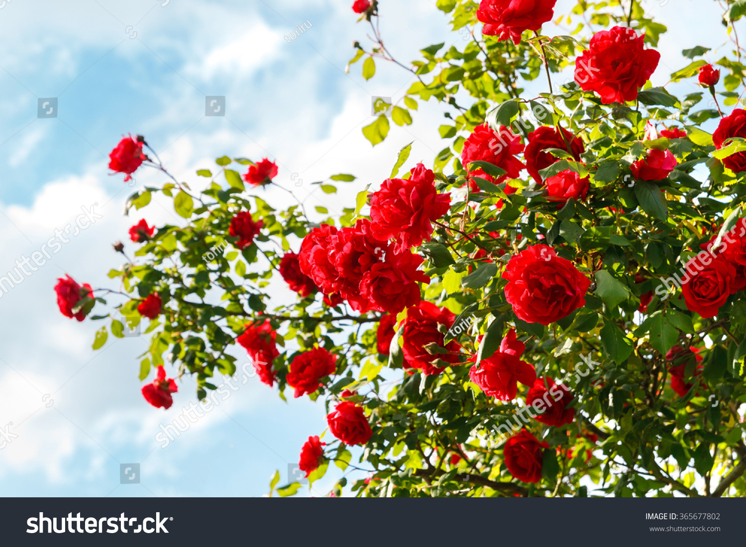 Red Roses Garden Pictures Garden Ftempo