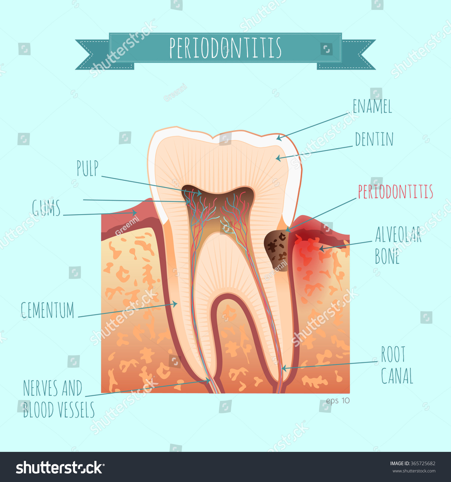 Vector Tooth Anatomy Periodontists Your Design Stock Vector