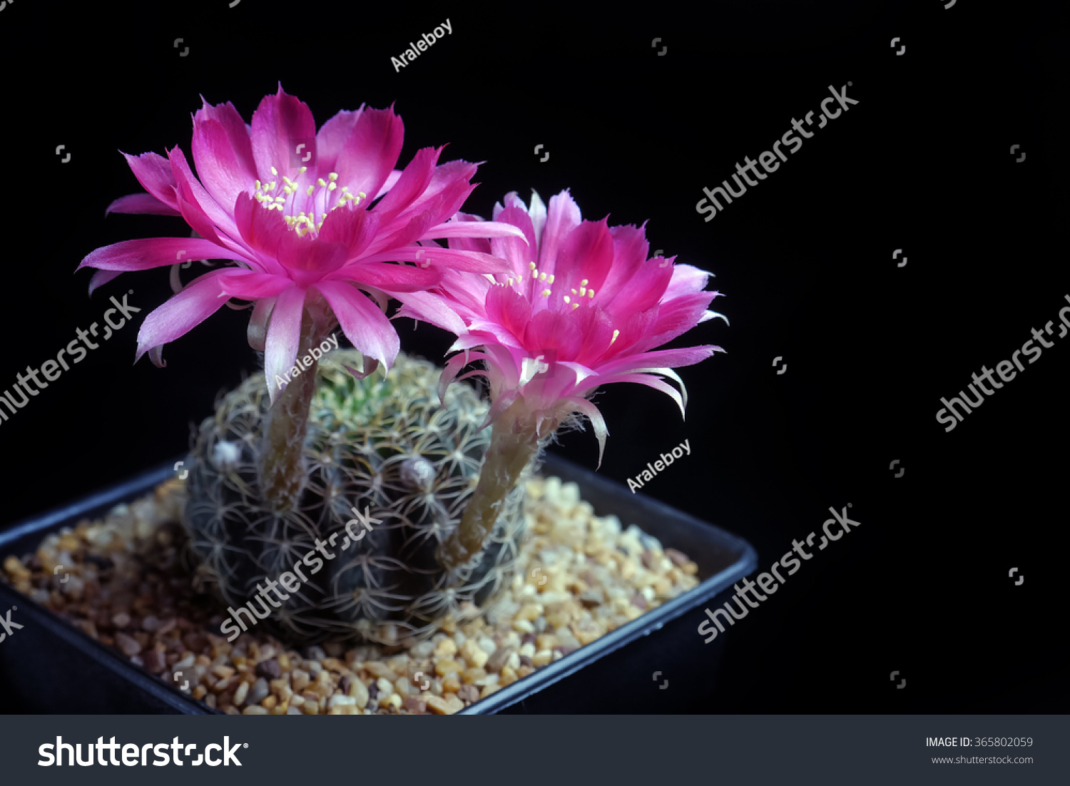 Red Beautiful Cactus Flowers Bloom On Isolate Black Background Ez