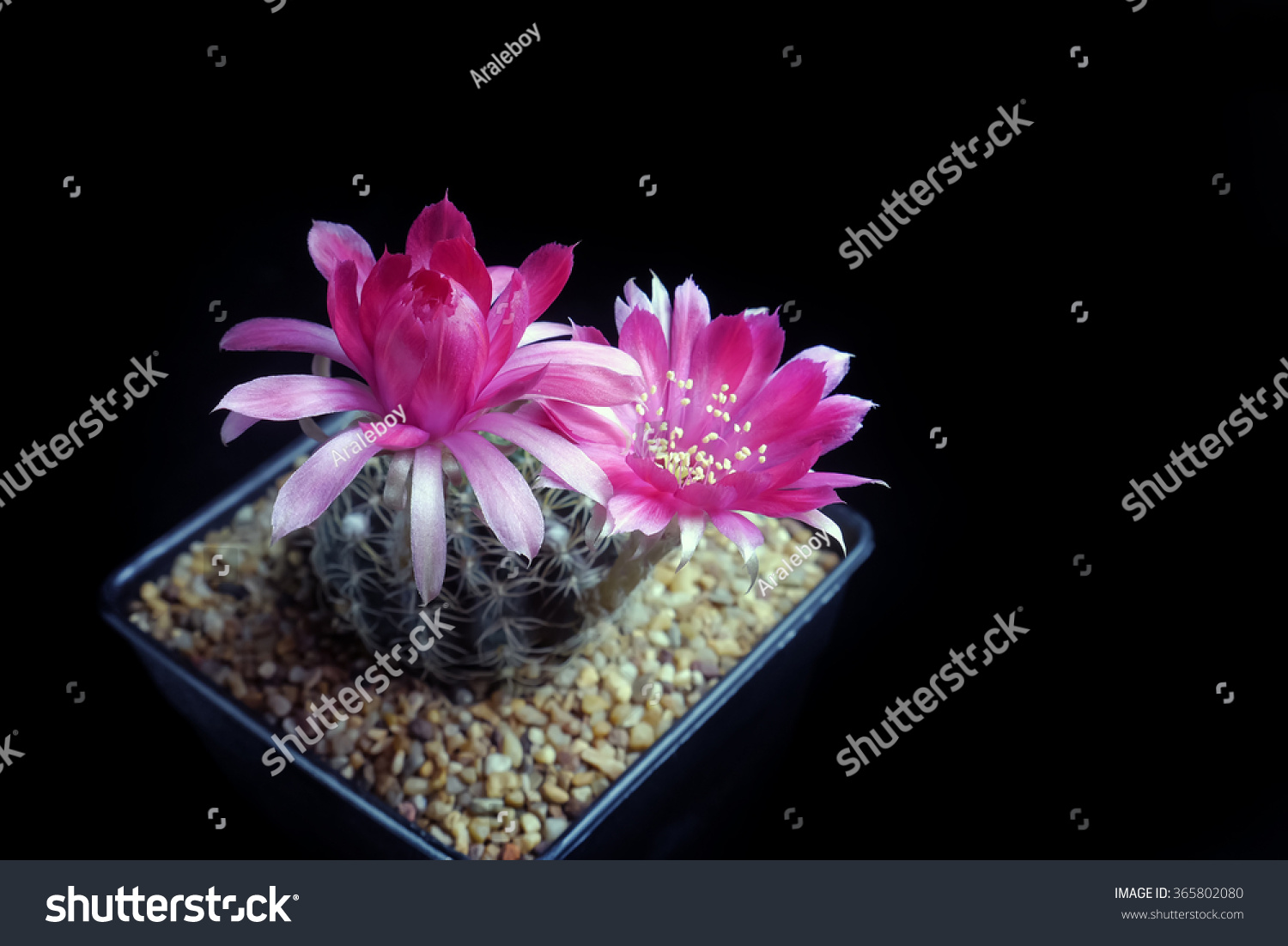 Red Beautiful Cactus Flowers Bloom On Stock Photo Edit Now