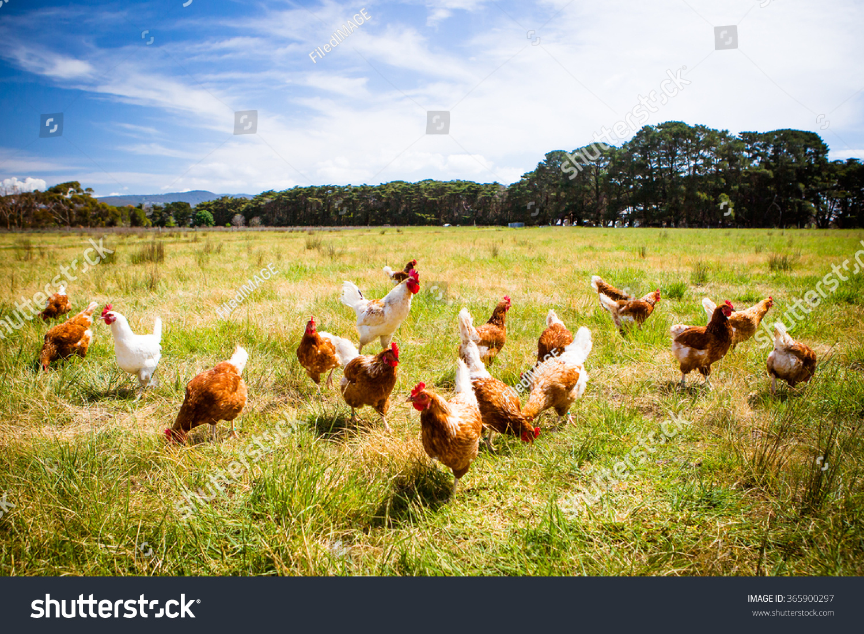 A flock of chickens roam freely in a lush green paddock near Clarkefield in Victoria, Australia #365900297