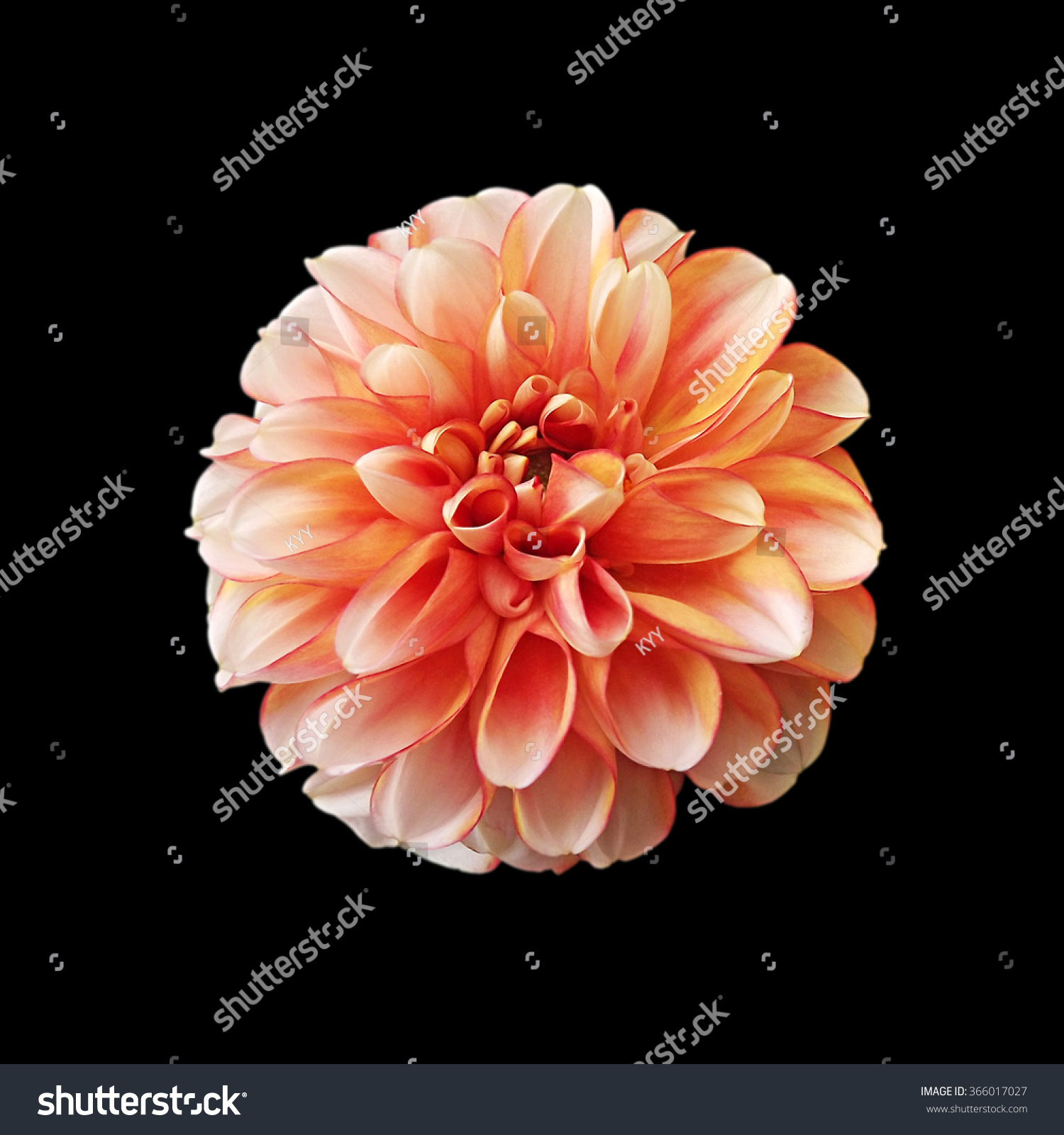Orange Dahlia Flower Isolated On Black Stock Photo Edit Now