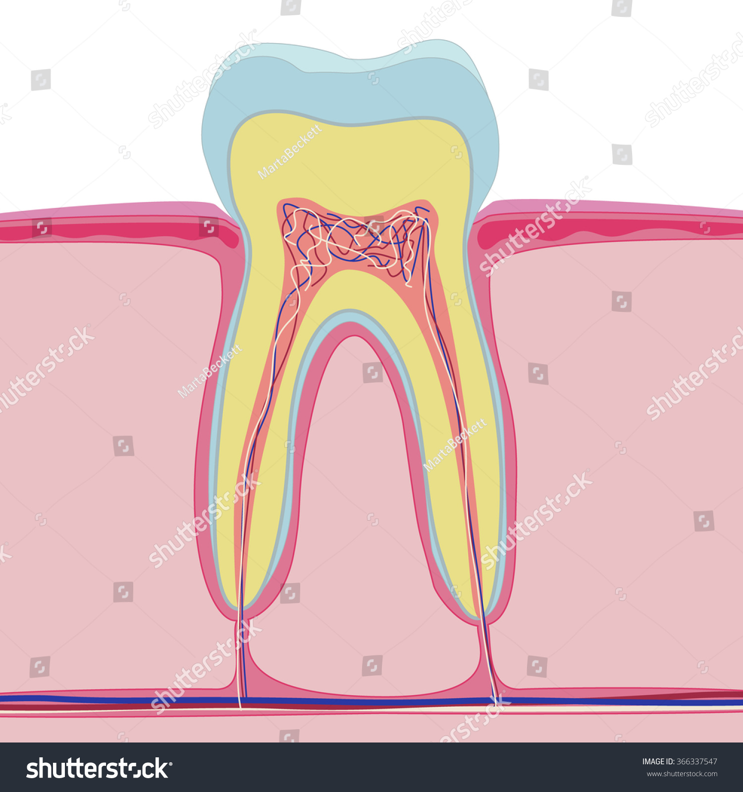 Vector Structure Human Tooth Isolated Anatomy Stock Vector Royalty