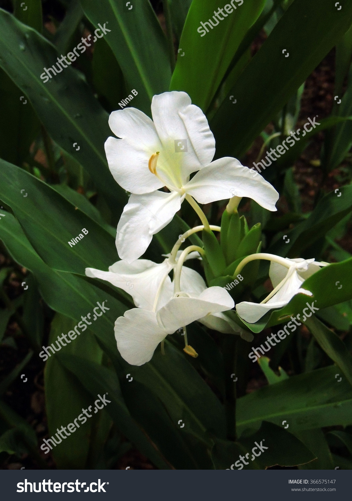 White Ginger Flowers Fort Canning Park Stock Photo Royalty Free