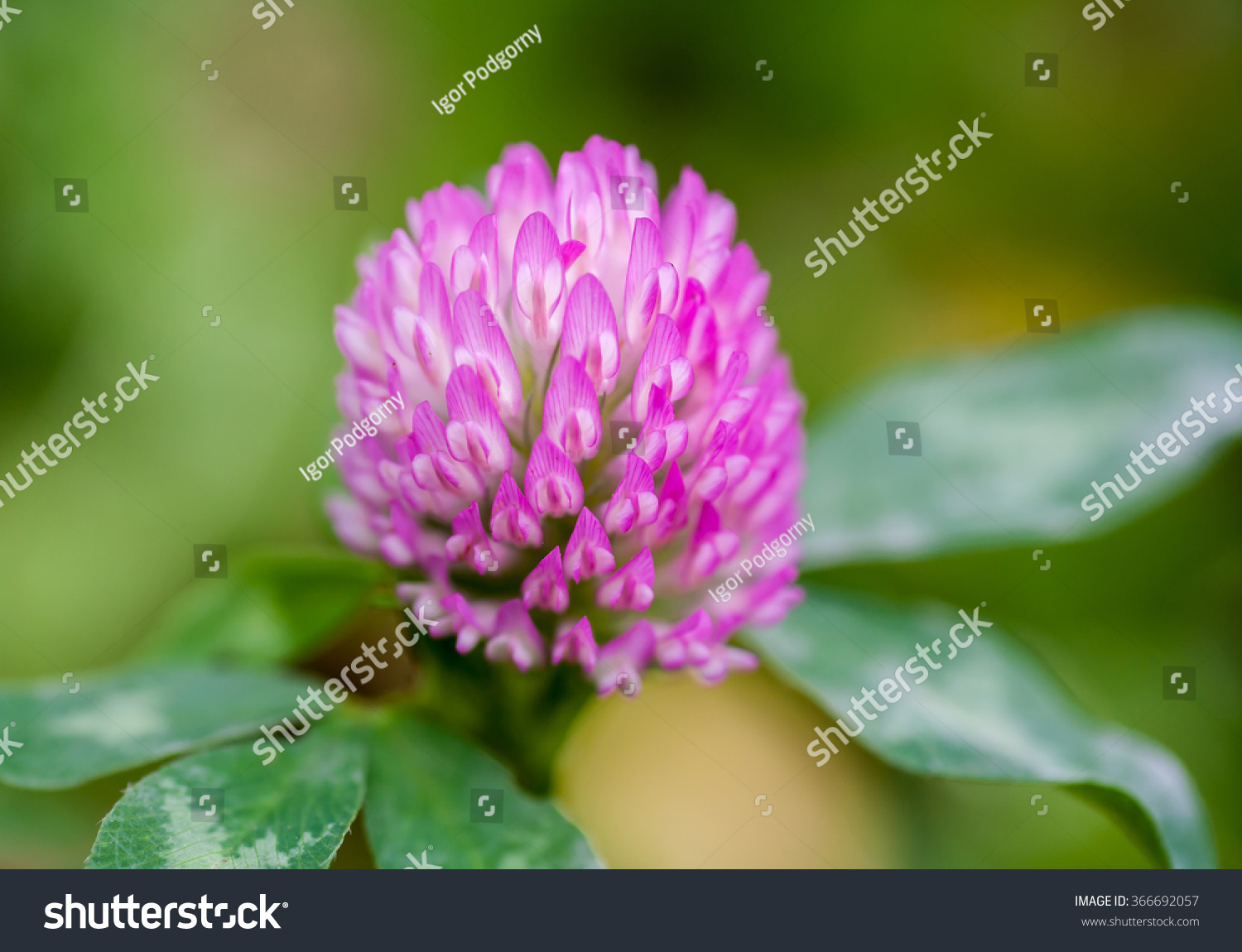 Purple Clover Flower Green Leaves Stock Photo Safe To Use