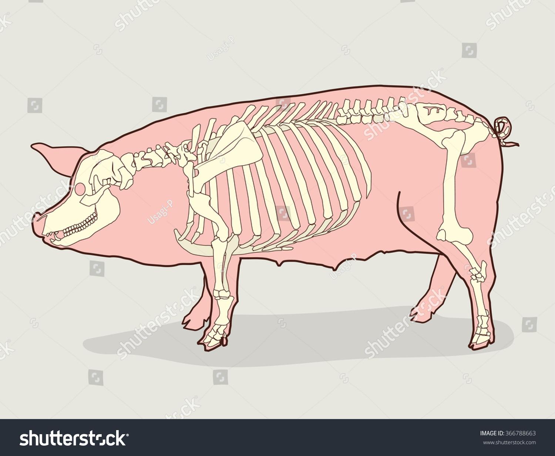 Swine Teeth Diagram Topsimages
