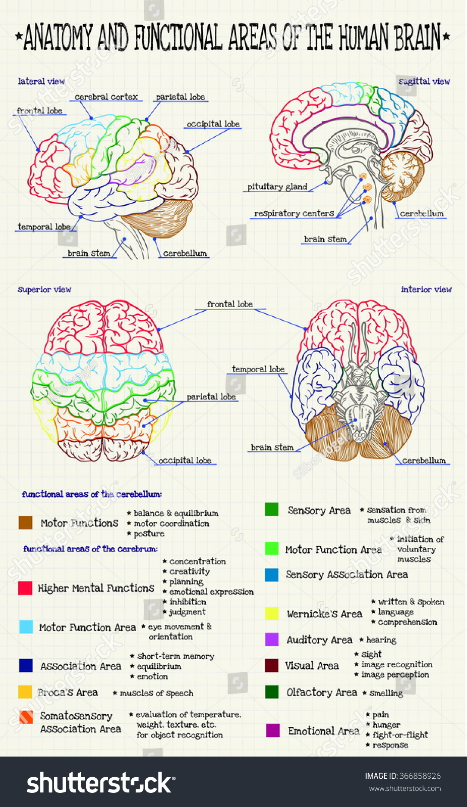 the function of the human brain A history of the brain likewise if you should cut the human head through the middle , the less he was sure about the function of each ventricle.