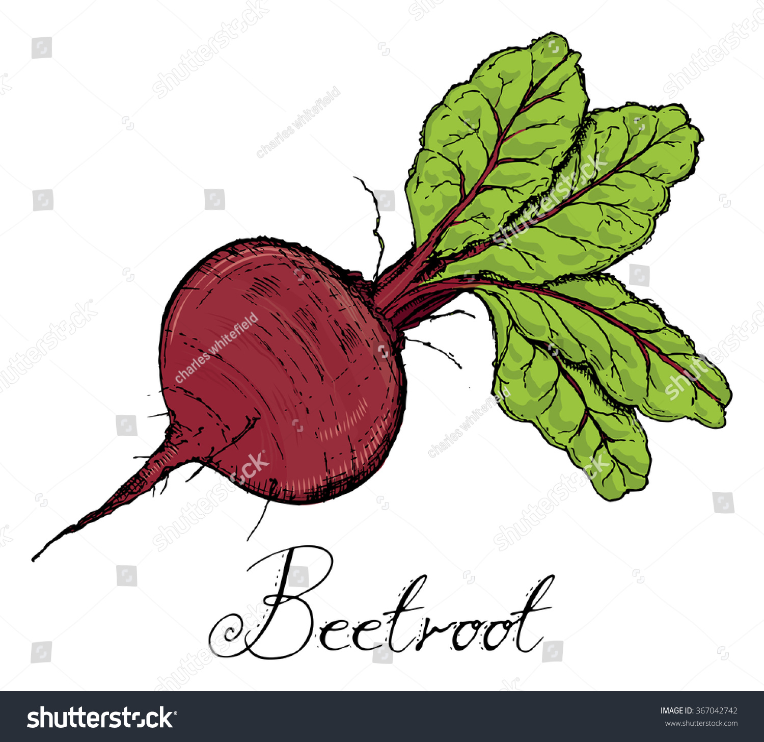 Beetroot Leaves Color Vintage Retro Woodcut Stock Vector ...