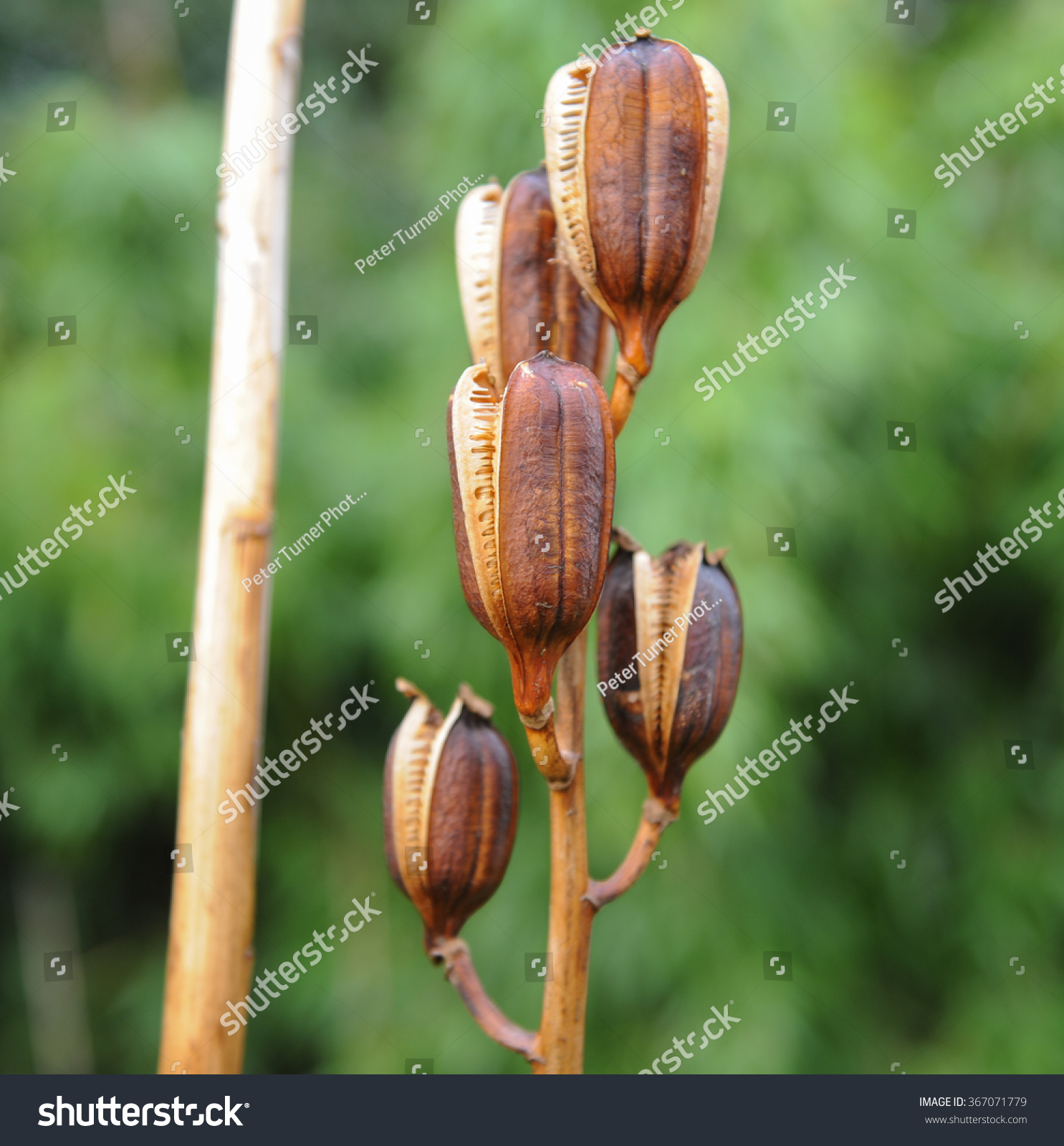 seed pods giant himalayan lily cardiocrinum stock photo 367071779