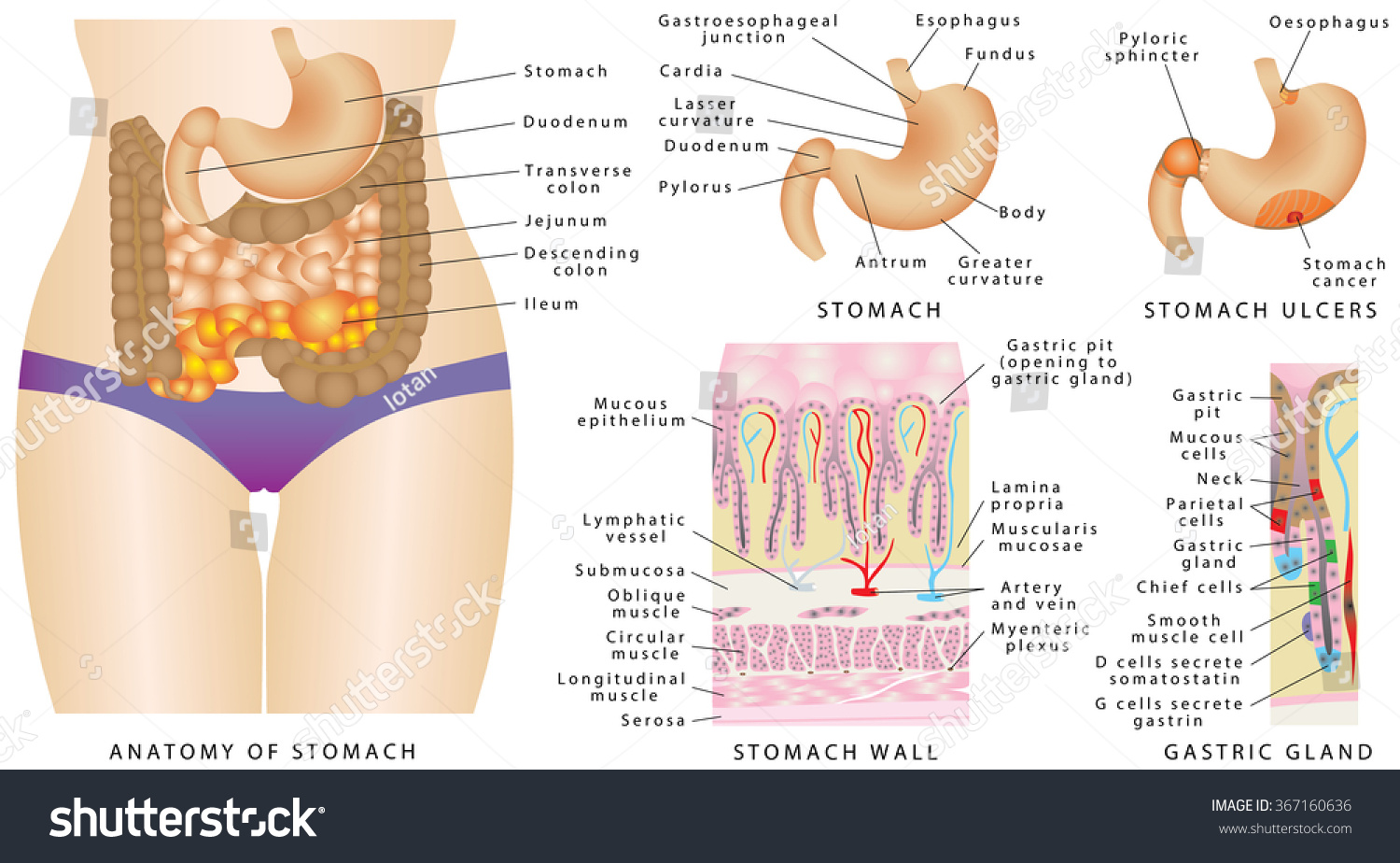Stomach Anatomy Stomach Anatomy Human Internal Stock Photo (Photo ...