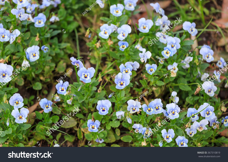 Little Blue White Flowers Garden Stock Photo Edit Now 367310819