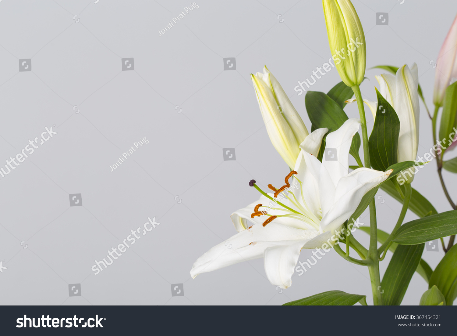 Lily Flower Bloom Pistils White Petals Stock Photo Royalty Free