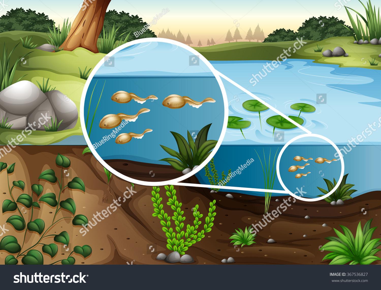 Tadpoles Swimming Pond Illustration Stock Vector 367536827