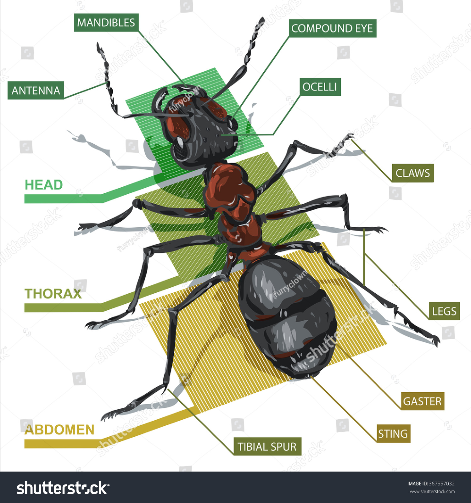 Structure Ant Vector Diagram Stock Vector (Royalty Free) 367557032 ...