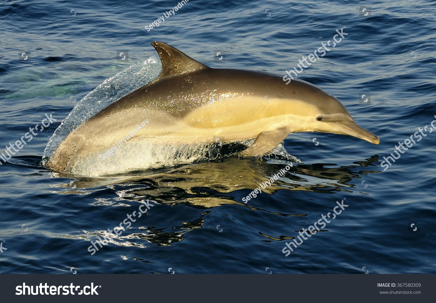 group dolphins swimming ocean hunting fish stock photo 367580309
