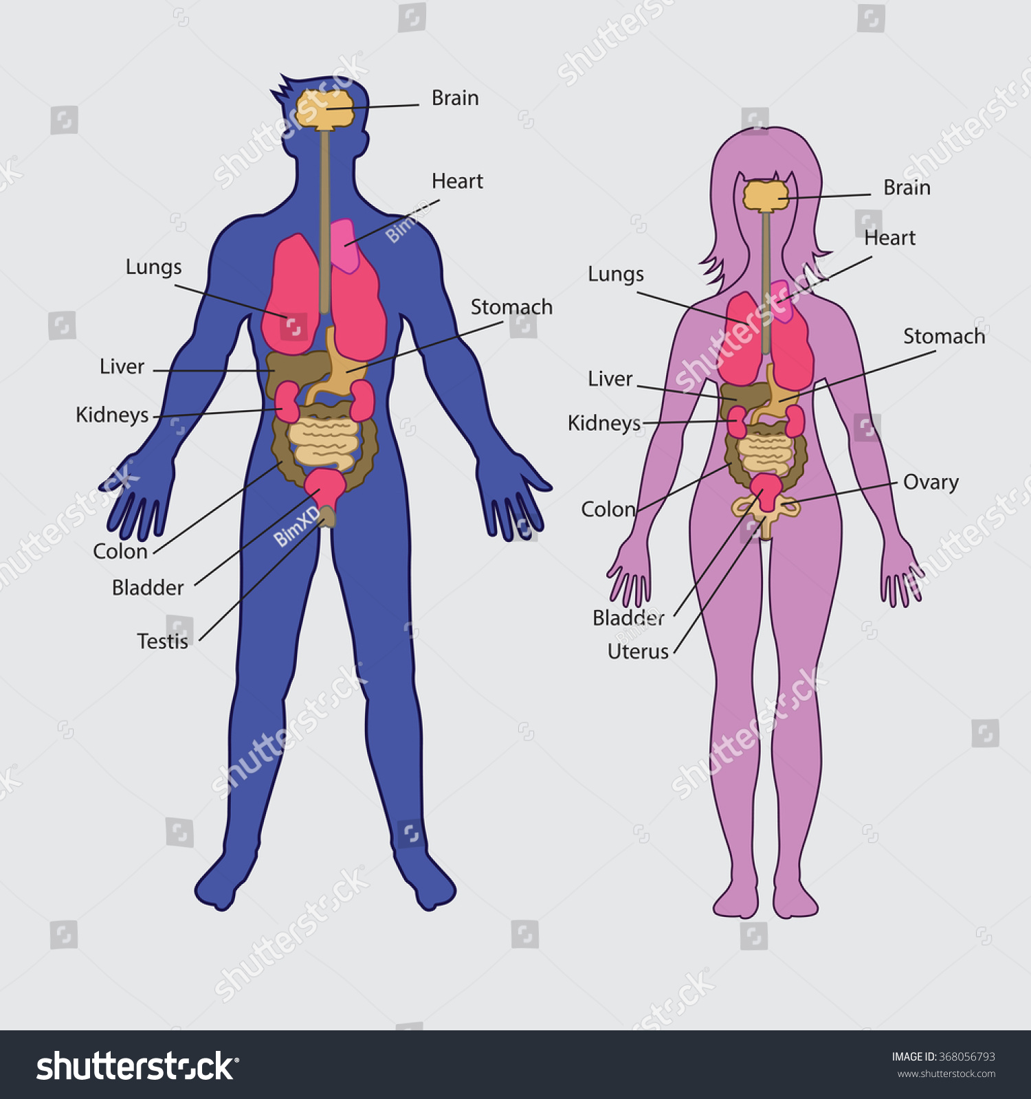 Basic Human Internal Organs Vector Stock Vector Royalty Free