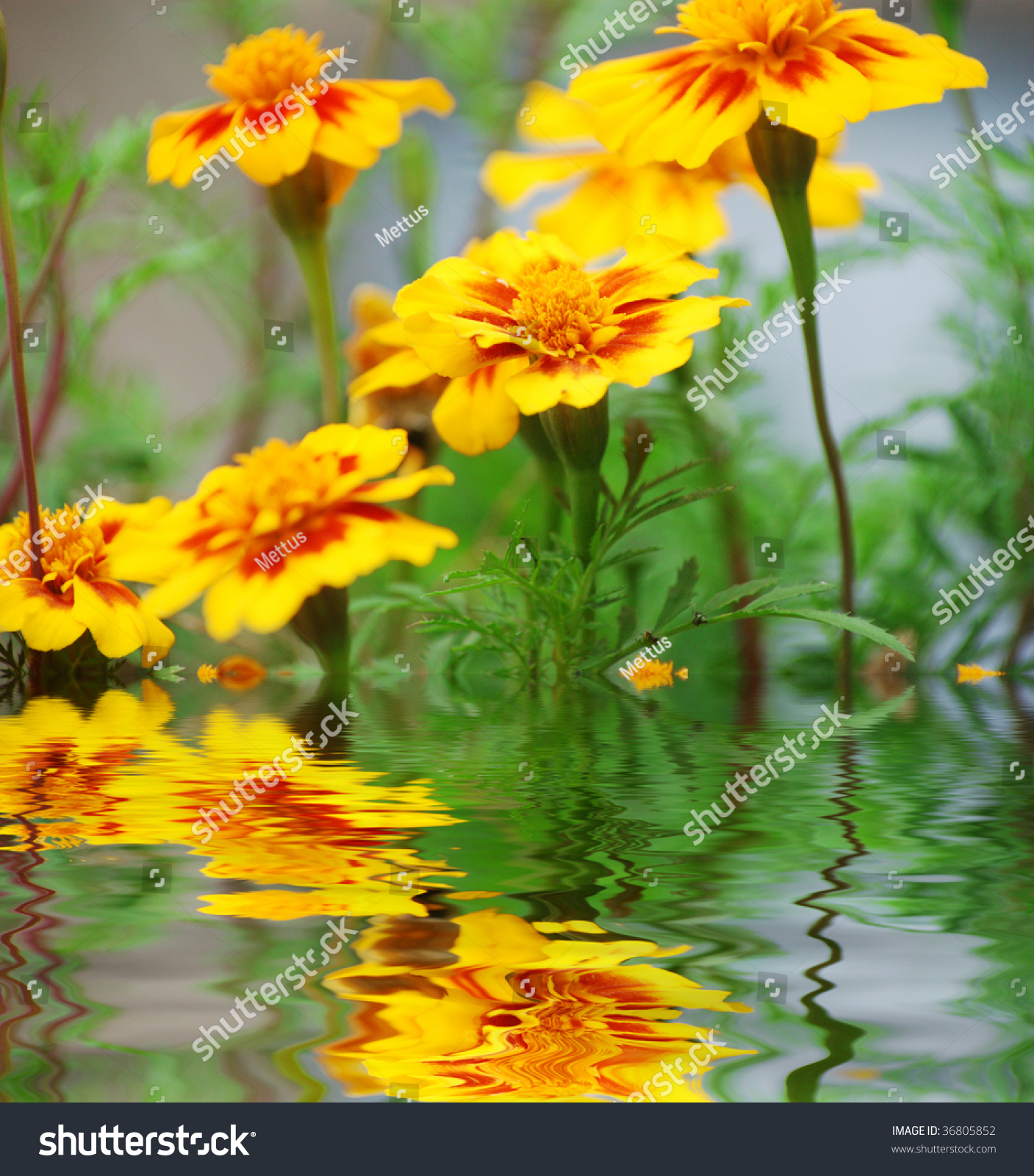 Yellow Flowers Near Water Surface With Ripples