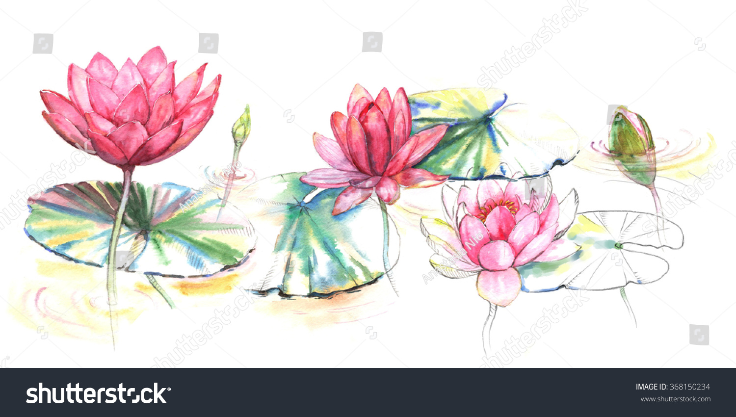 Handdrawn Watercolor Illustration Pink Lotus Flowers Stock