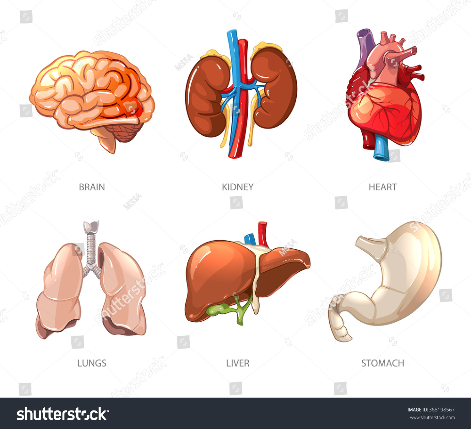 Human Internal Organs Anatomy Cartoon Vector Stock Vector