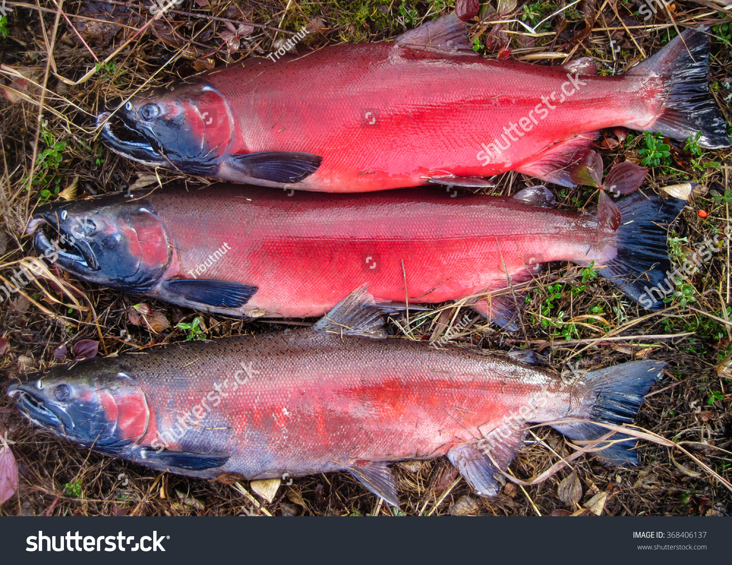 Brightly Colored Silver Aka Coho Salmon Stock Photo (Royalty Free ...