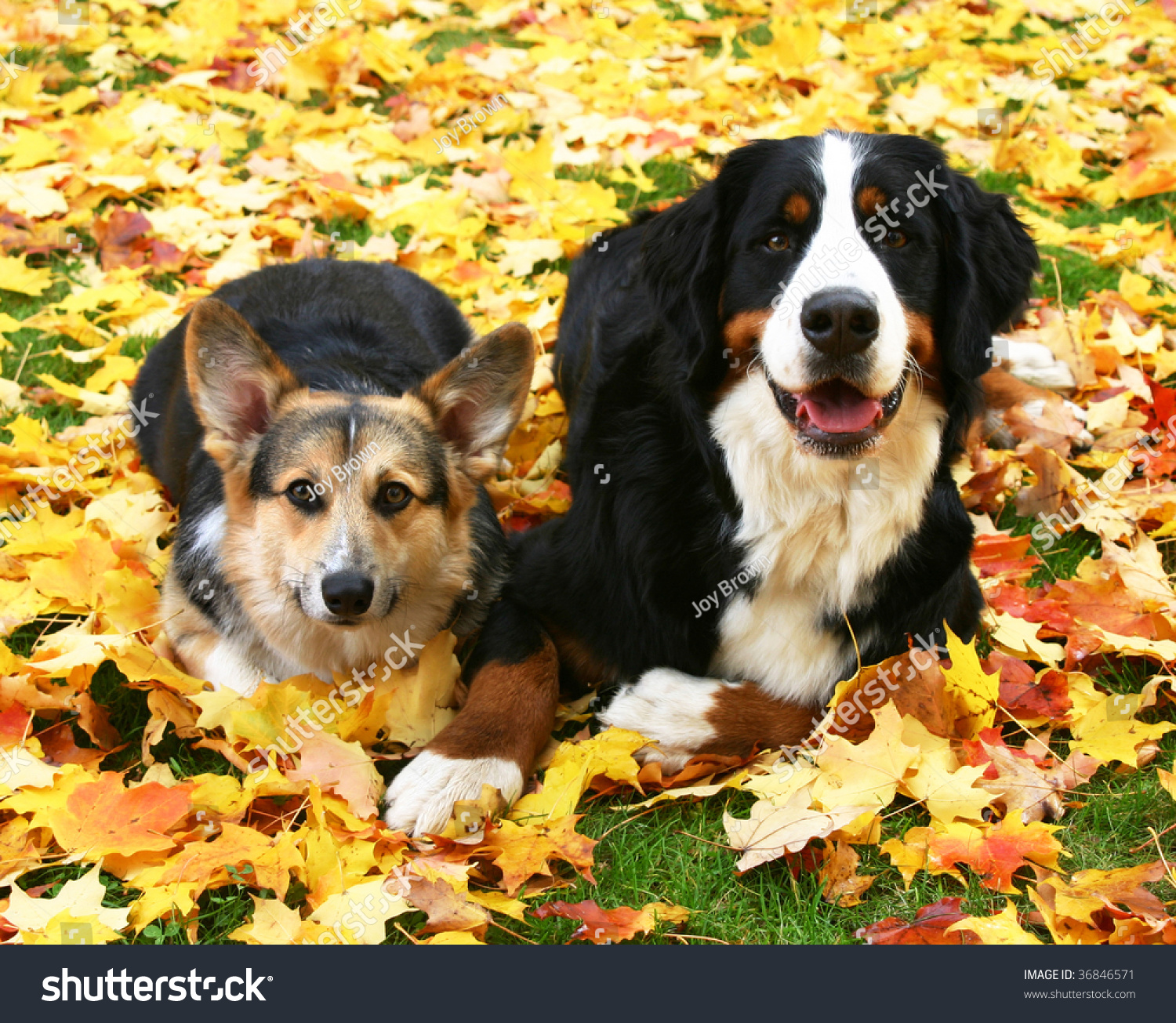 Bernese Mountain Dog Similar Breeds