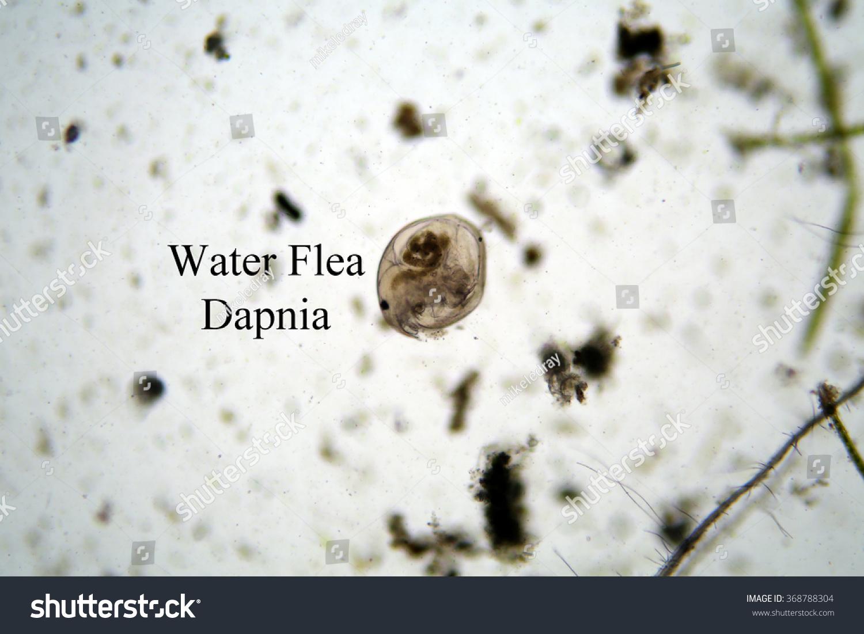 Microscopic Fresh Water Animal Water Flea Stock Photo Edit Now