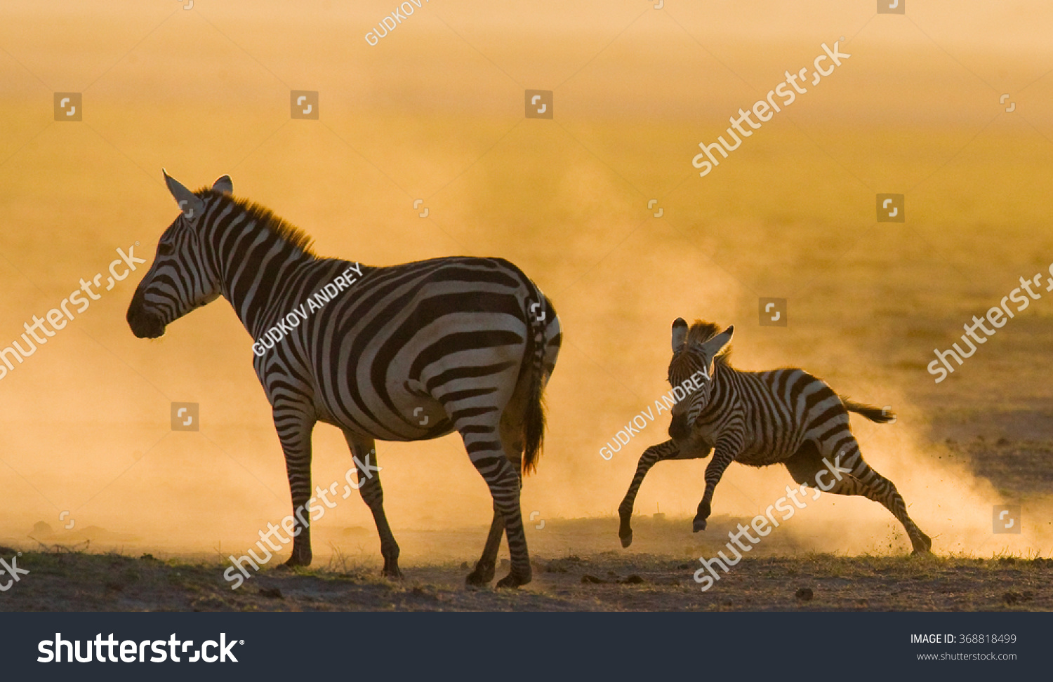 Zebra with a baby in the dust against the setting sun. Kenya. Tanzania. National Park. Serengeti. Maasai Mara. An excellent illustration. #368818499