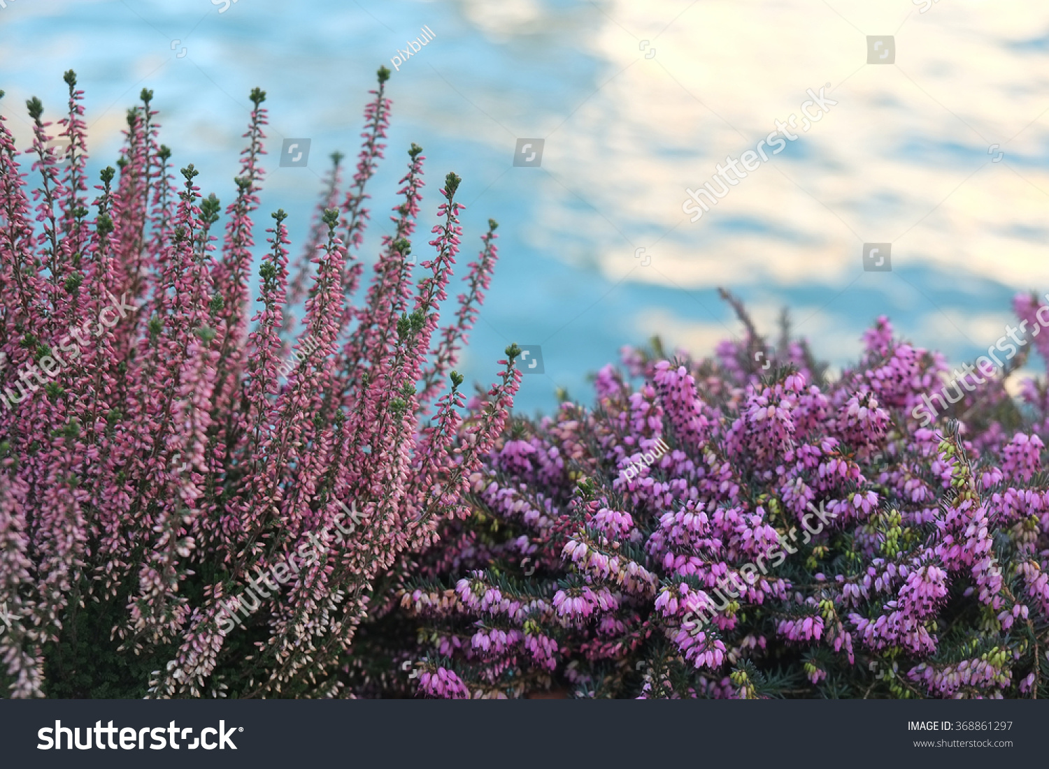 Royalty Free Pink Heath Blooms In Winter Erica 368861297 Stock
