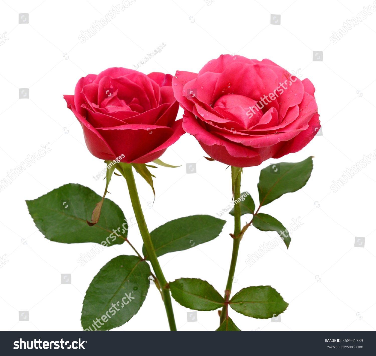 Beautiful Red Rose Flowers Isolated On White Background Finerworks