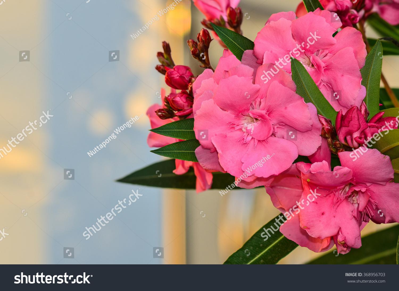 Beautyfull Sweet Oleander Flower On Tree Stock Photo Edit Now