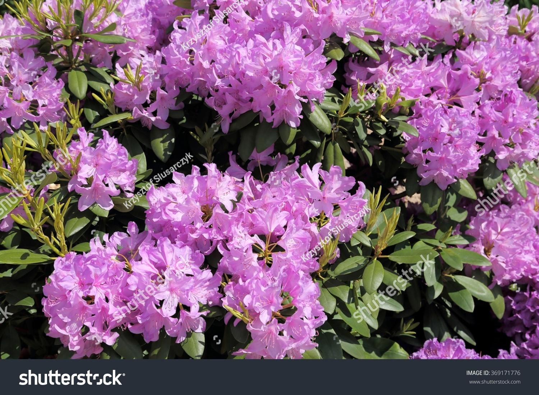 Beautiful Rhododendron Pink Flower Bushes Garden Stock Photo Edit