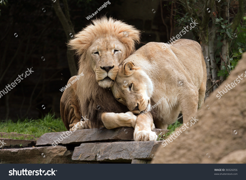 Lions Love Lion Lioness Cuddle Stock Photo 36926056 ...