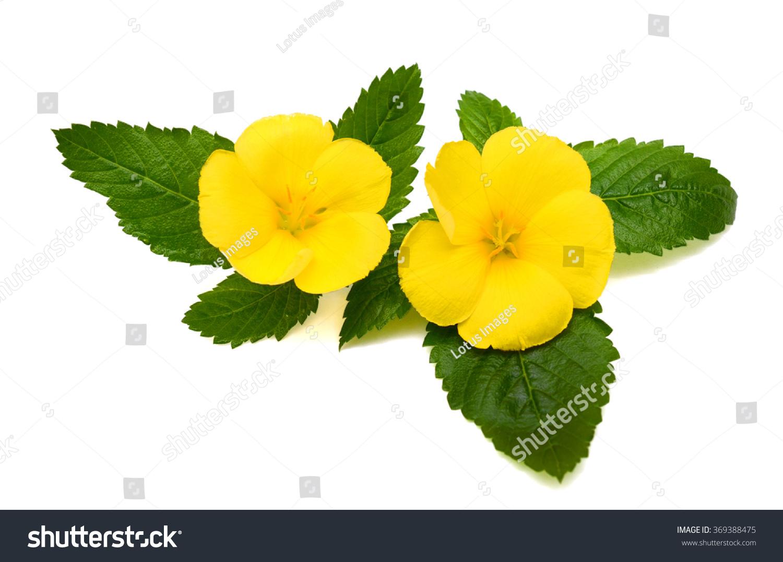 Beautiful Yellow Sage Rose Flowers Isolated On White Background Ez