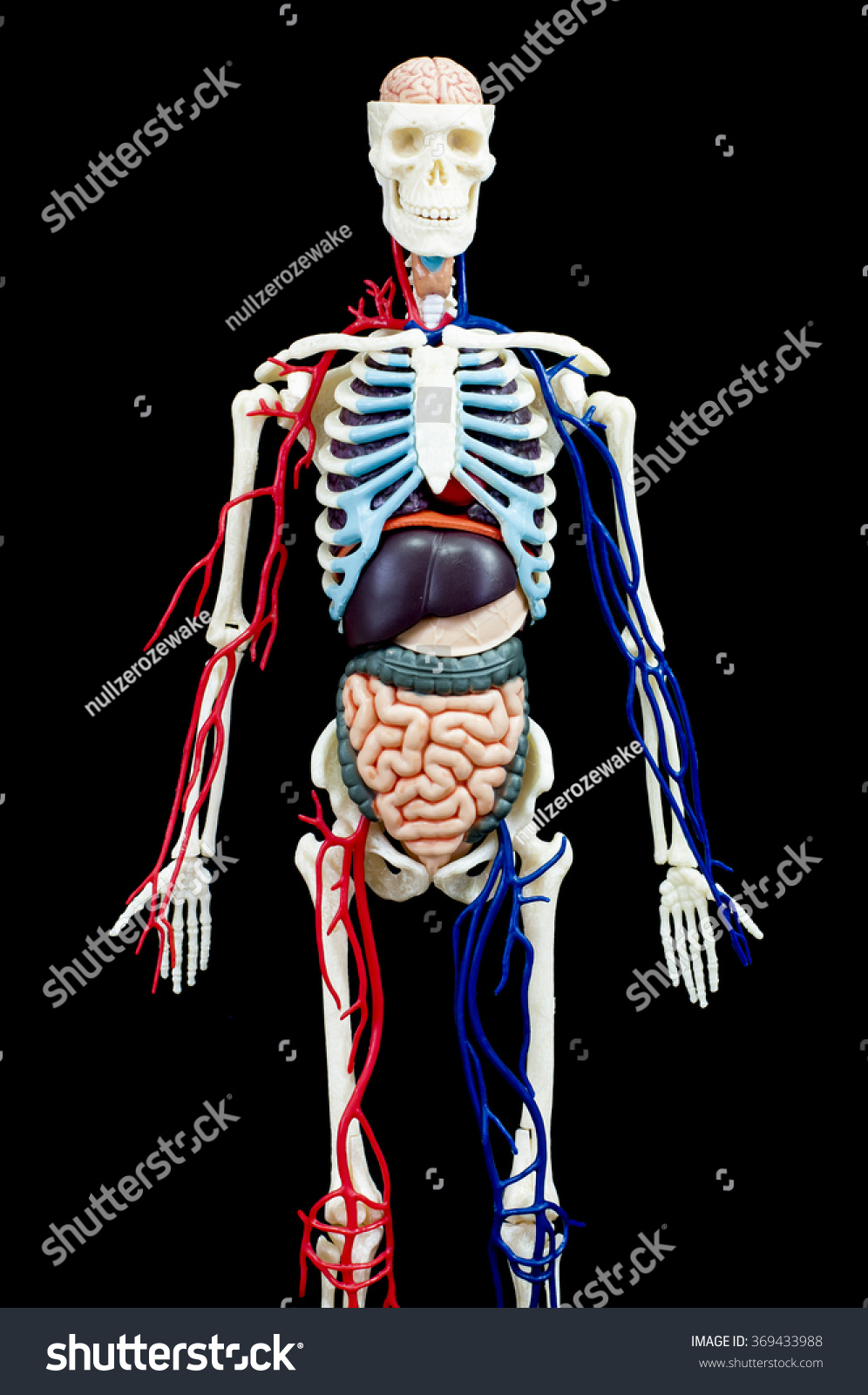 Male Human Skeleton Internal Organs Isolated Stock Photo Edit Now