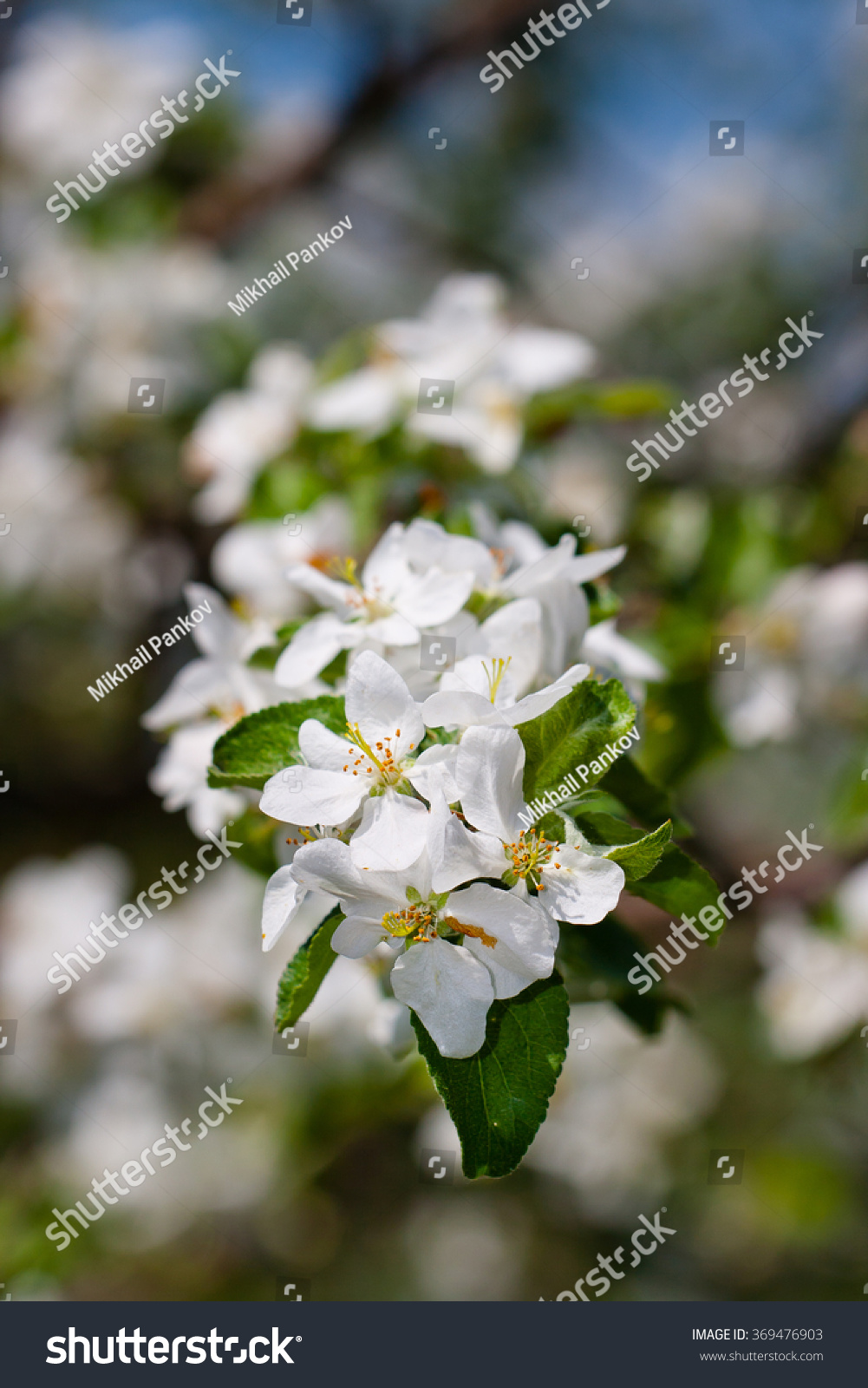 Branch With Flowers Of Blooming Apple Tree Selective Focusall