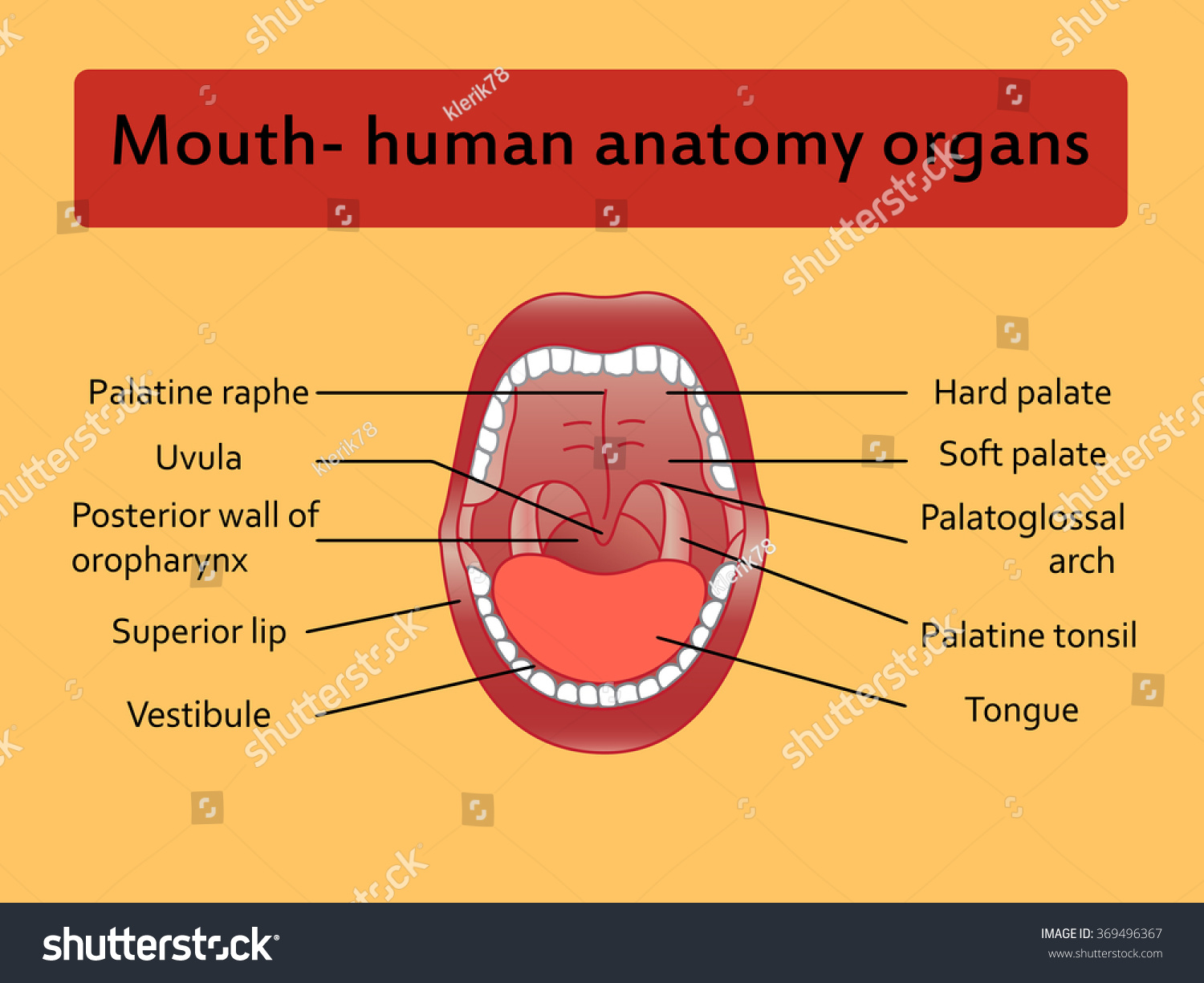 parts human mouth open mouth white stock vector 369496367, Cephalic Vein
