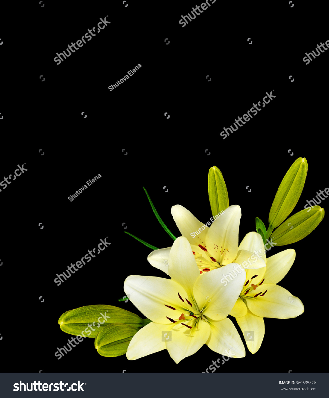 White Lily Flower On Black Background Stock Photo Download Now