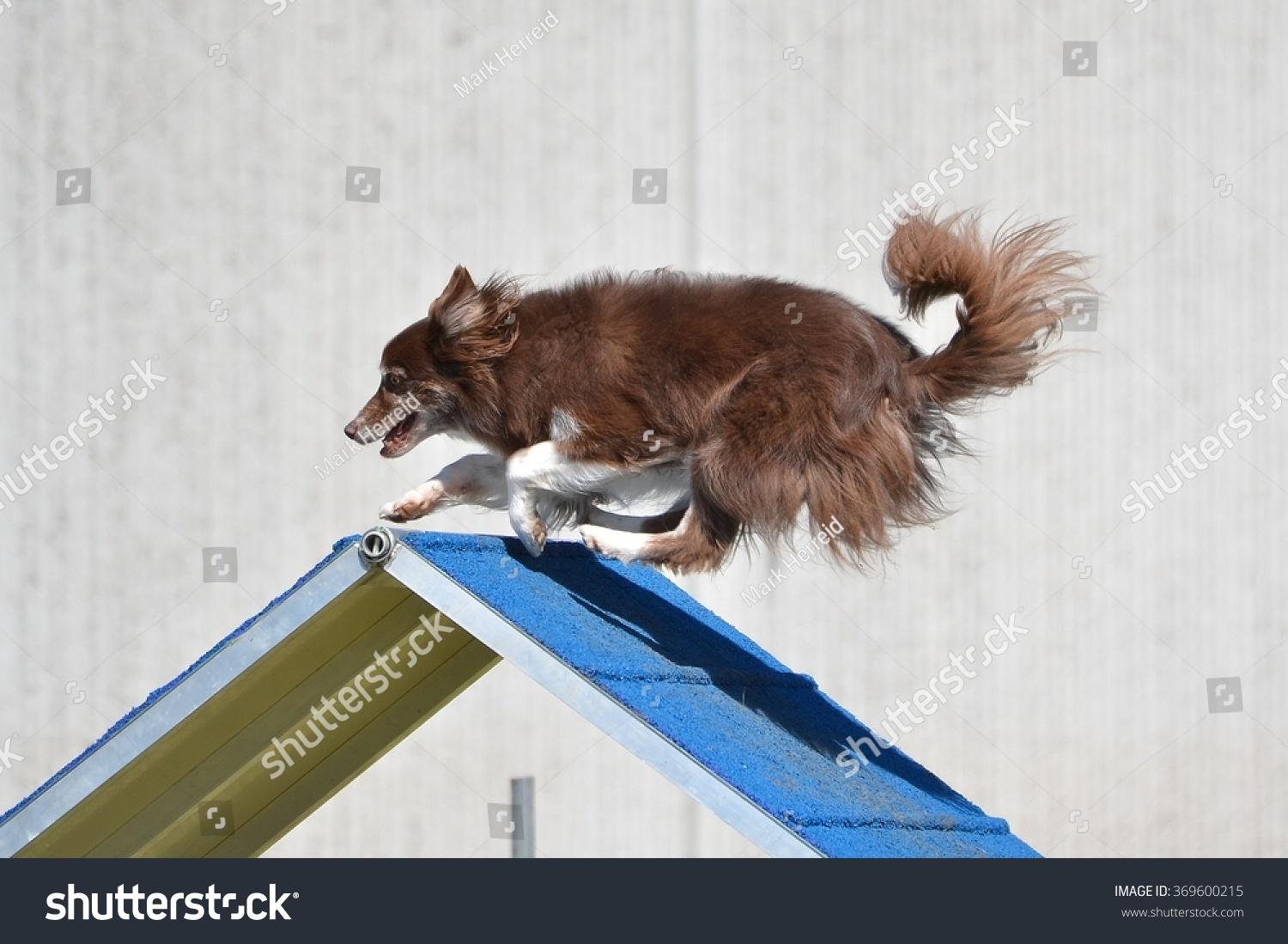 Border Collie Going Over A Frame Dog Stock Photo (Royalty Free ...